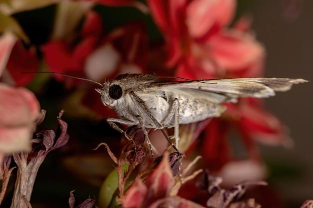 Graphic owlet moth z rodzaju melipotis w kwitnącej roślinie