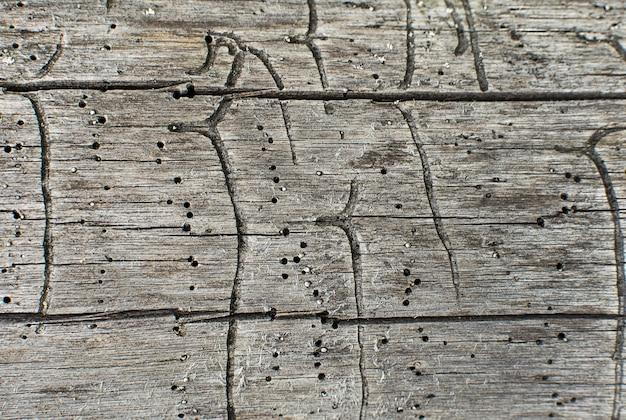 Grawerowanie galerii kory chrząszcza na drewnie
