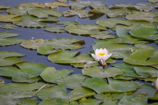 Grążel w małym jeziorze przy zmierzchem.