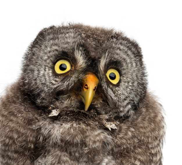 Great grey owl lub lapland owl, strix nebulosa, 2 miesiące na tle białej przestrzeni