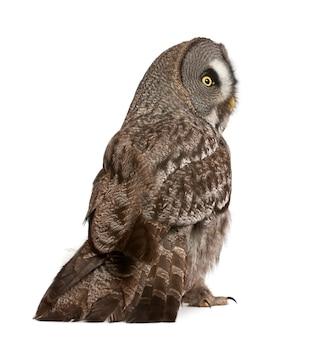 Great grey owl lub lapland owl strix nebulosa bardzo duża sowa stojąca odizolowana