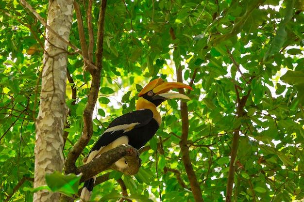 Great hornbill buceros bicornis