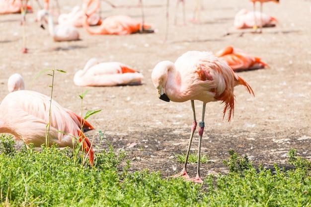 Greater flamingo, ładny różowy duży ptak, zwierzę w środowisku przyrodniczym