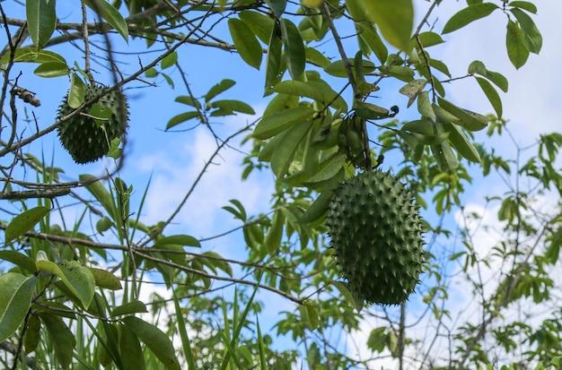 Green soursop lub prickly custard apple na drzewie.