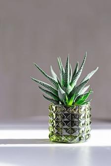 Green succulent w szklanej doniczce z ciemnymi cieniami