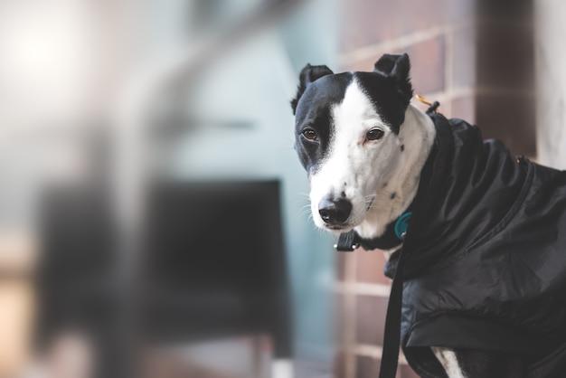 Greyhound dog siedzący na ulicy. skopiuj miejsce