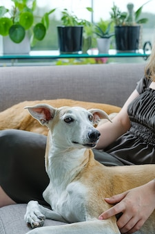 Greyhound pies siedzi na kanapie z właścicielem