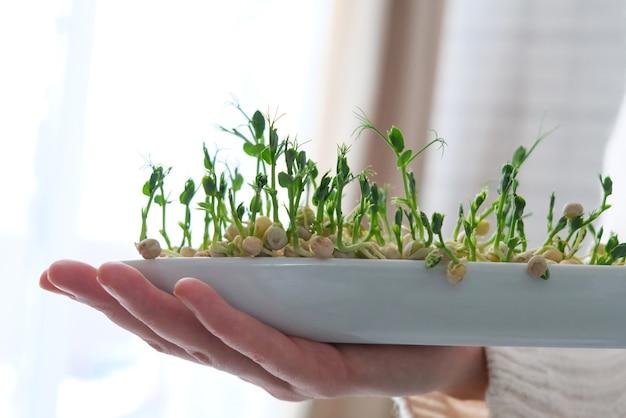 Groch mikro zieleniny w ręce kobiety. kiełkowanie nasion w domu. rosnące kiełki.