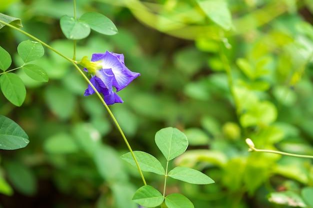 Groch motylkowy clitoria ternatea l piękne fioletowe kwiaty są rodzajem zioła