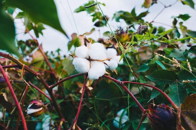 Grono białej bawełny na gałęzi.