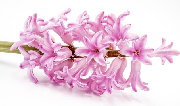 Grono różowe perłowe kwiaty hiacyntu