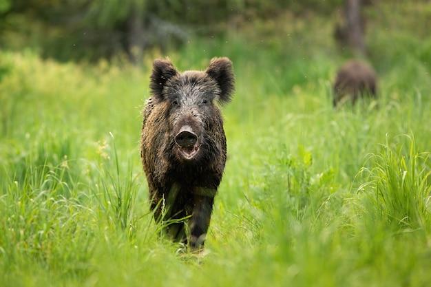 Groźny dzik stojący na polanie z otwartymi ustami latem.