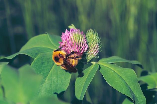 Gruba pszczoła znajduje nektar w różowej koniczyny zakończeniu up. owad na kwiacie z kopii przestrzenią na zieleni zamazywał naturę