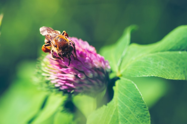 Gruba pszczoła znajduje nektar w różowej koniczyny zakończeniu up