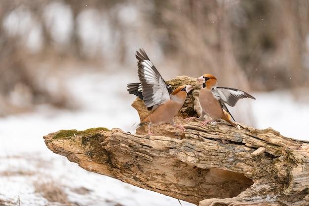 Grubodziób coccothraustes coccothraustes. dwa ptaki walczą na karmniku w lesie.