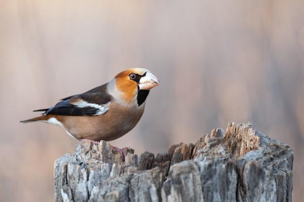 Grubodziób coccothraustes coccothraustes ptak w lesie na podajniku. bird of europe