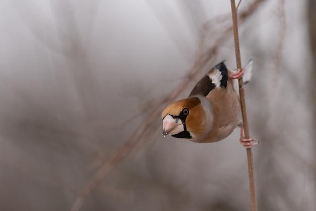 Grubodziób coccothraustes coccothraustes. ptak w zimowym lesie.