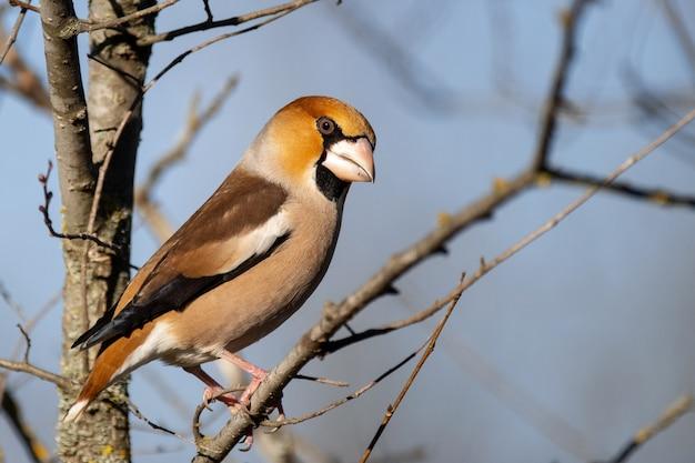 Grubodziób siedzi na gałęzi w swoim naturalnym środowisku. coccothraustes coccothraustes.