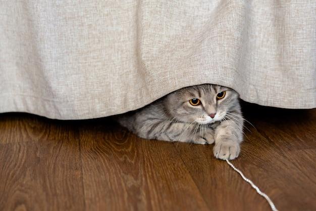 Gruby kot brytyjski chowający się za zasłoną, bawiący się girlandą lub koralikami.