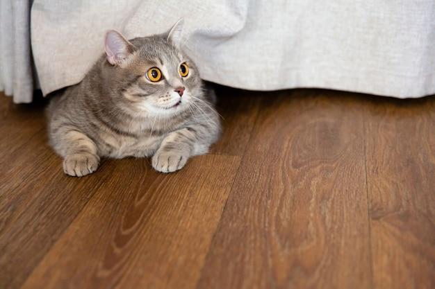 Gruby kot brytyjski leży na podłodze pod zasłoną i patrzy w bok