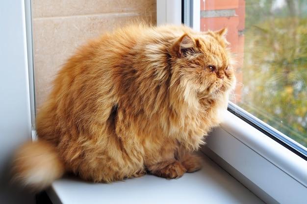 Gruby kot siedzi na parapecie i wygląda przez okno.