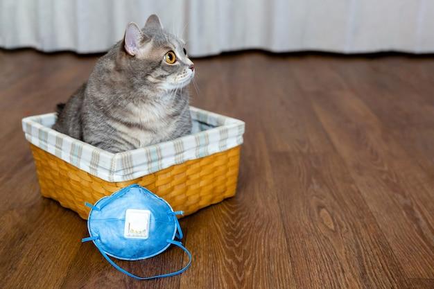 Gruby kot siedzi w wiklinowym koszu obok maski ochronnej i patrzy w bok izolacja i kwarantanna