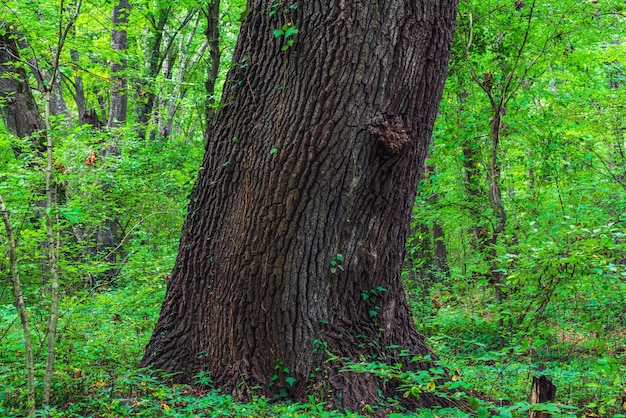 Gruby pień starego drzewa w zielonym lesie