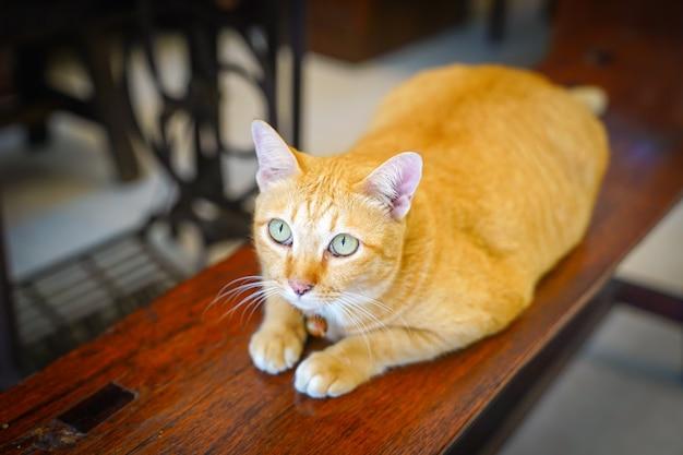 Gruby pomarańczowy kot siedzi na drewnianym krześle i wpatruje się w sufit.
