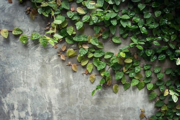 Grunge cementu ściany tekstury i liścia zielony ivy z miejsca.