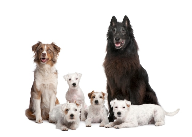 Grupa 5 psów; 4 parson russell terrier, owczarek australijski i mieszaniec