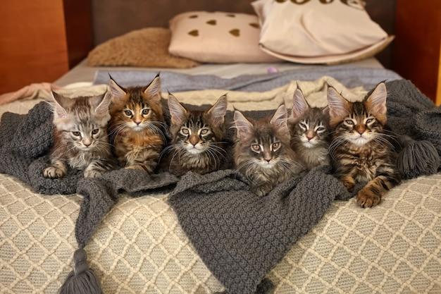 Grupa 6 uroczych kociąt maine coon leżących w szarym ciepłym kocu na łóżku