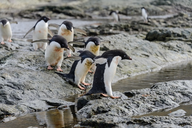 Grupa adelie pingwiny na plaży na antarktydzie