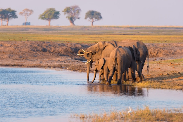 Grupa afrykańskich słoni woda pitna od chobe rzeki przy zmierzchem. przyroda safari i łódkowaty rejs w chobe parku narodowym, namibia botswana granica, afryka.