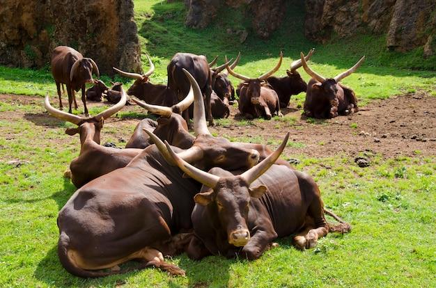 Grupa Ankolewatusi Leżąca Na Polu Premium Zdjęcia