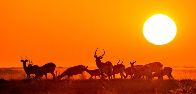Grupa antylop o zachodzie słońca