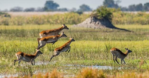 Grupa antylop płynie po wodzie, otoczona bryzgami
