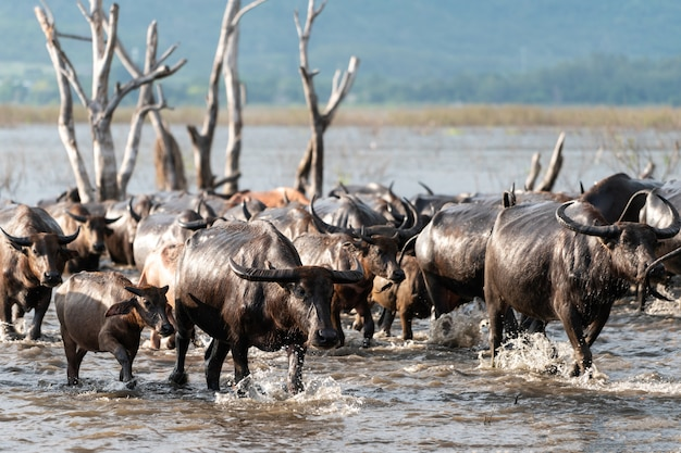 Grupa bawołów w rzece