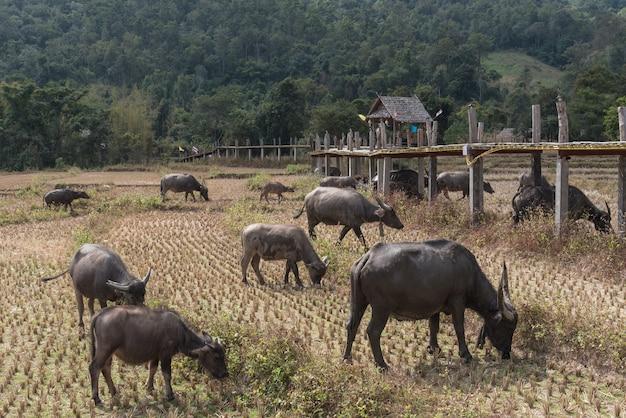 Grupa bawołów w suchym, suszowym polu ryżu po południu, przemysł