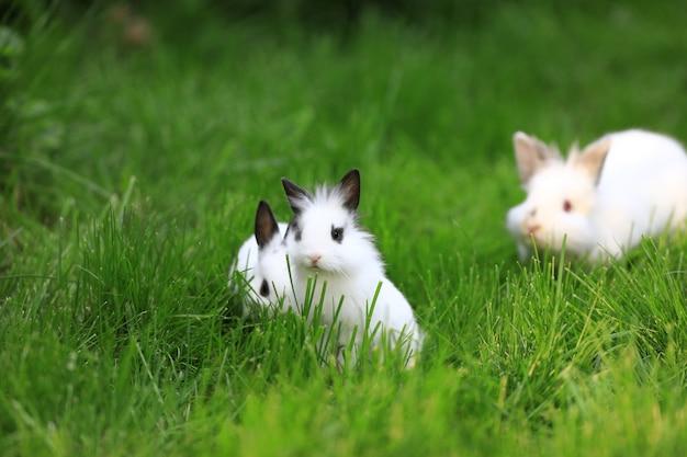 Grupa biały królik na trawie trawnikowej