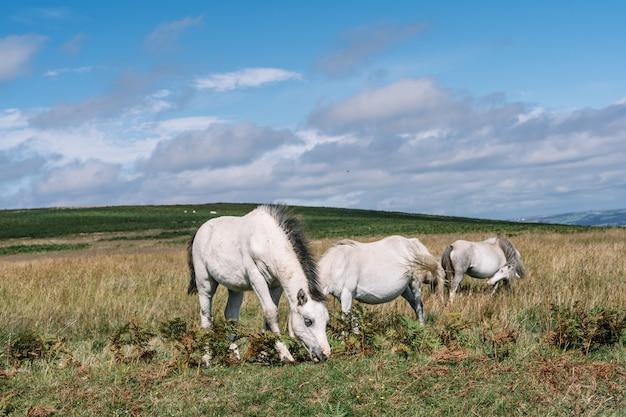 Grupa białych koni wypasanych w polu