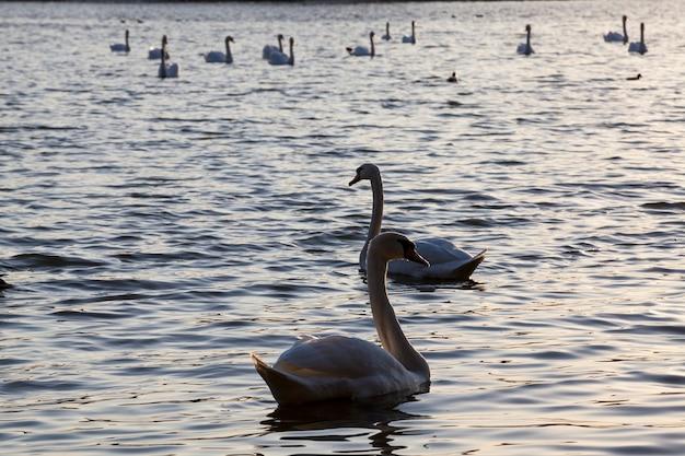 Grupa białych łabędzi, piękne łabędzie ptactwa wodnego na wiosnę, duże ptaki o zachodzie lub świcie, zbliżenie