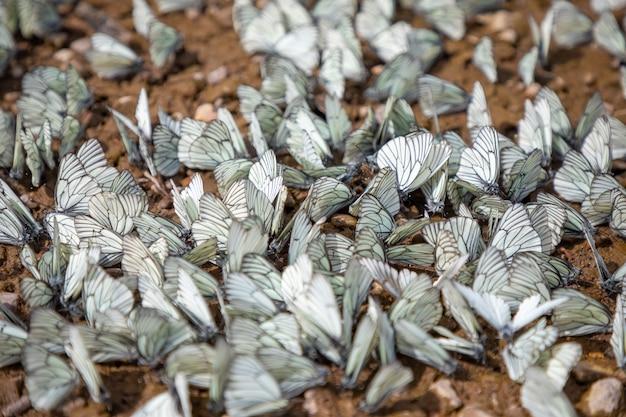 Grupa białych motyli z czarnymi żyłkami lub aporia crataegi siberia russia