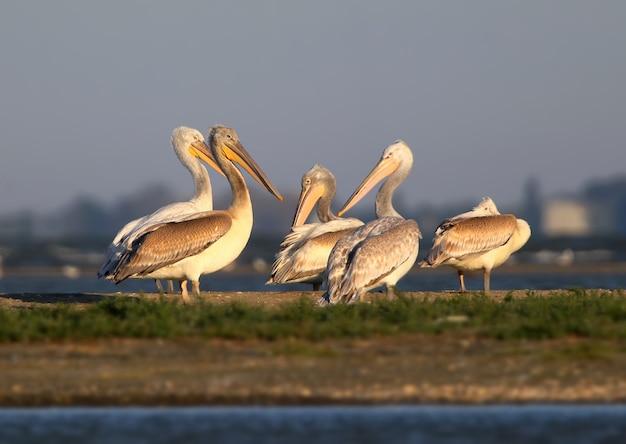 Grupa białych pelikanów odpoczywa w porannym słońcu w delcie dunaju