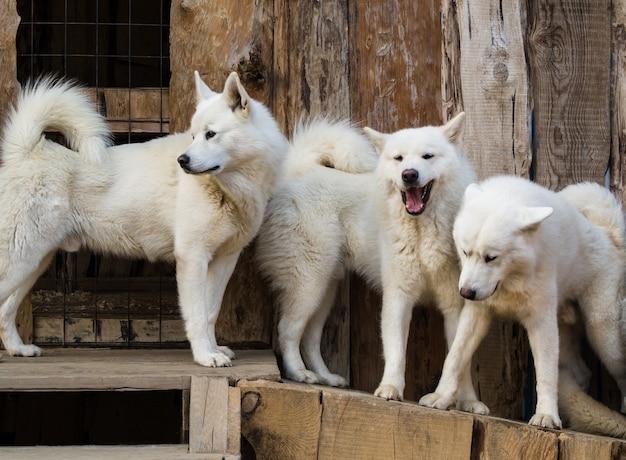 Grupa białych psów husky stojących w drewnianej hodowli
