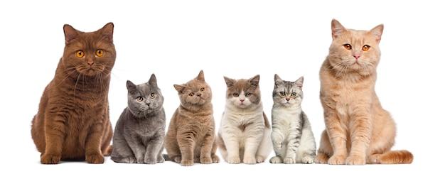 Grupa brytyjski krótkowłosy siedzi przed białą ścianą