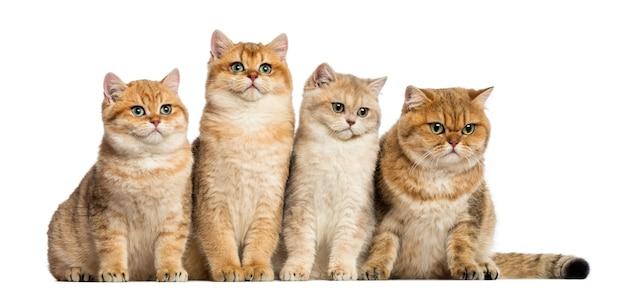 Grupa brytyjski krótkowłosy siedzi w rzędzie