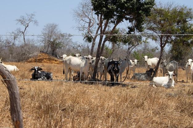 Grupa bydła nellore w brazylijskim krajobrazie caatinga w słoneczny dzień za ogrodzeniem