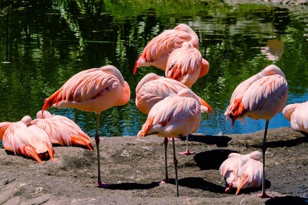 Grupa chilijskich flamingów, phoenicopterus chilensis, w stawie dla tych ptaków na terenie lub w centrum fauny morskiej.