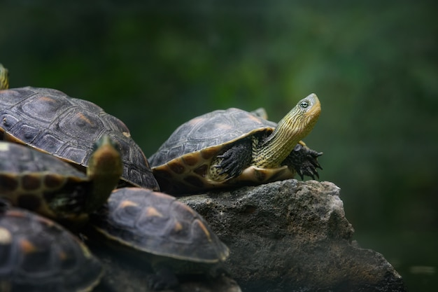 Grupa chińskich żółwi z paskiem na szyi stojących na kamieniu