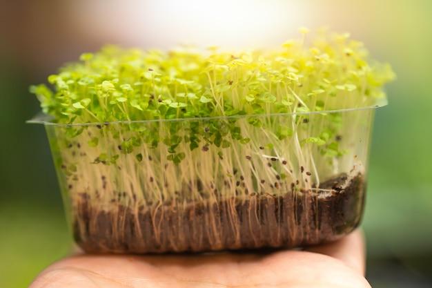 Grupa czarna sezamowa zielona roślina kiełkuje zdrowego jedzenie